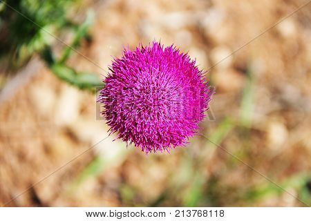 Bright pink flower of the medicinal plant thistle (prickly, Marin Tartar, silver tartar) on the green stalk. Macro - close-up, background brown - blurred.
