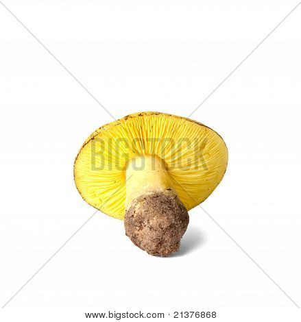 Tricholoma equestre mushroom isolated on white background poster