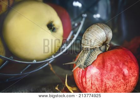 The large Achatina snail crawling on a red Apple on a background of apples. The horizontal frame.