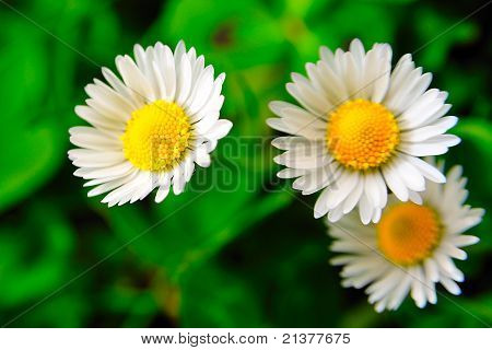 Daisies and green grass