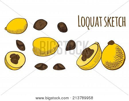 Loquat colored isolated on white. VECTOR illustrations set isolated on white background,