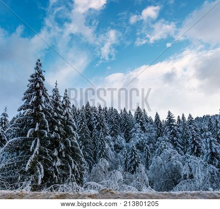 Snow Covered Spruce Forest In Winter