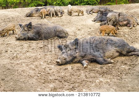 Young Wild Carpathian boar in the closed territory sniffs the earth. Sus scrofa attila poster