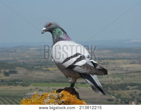 Pigeon watching the horizon near the village of Monsaraz