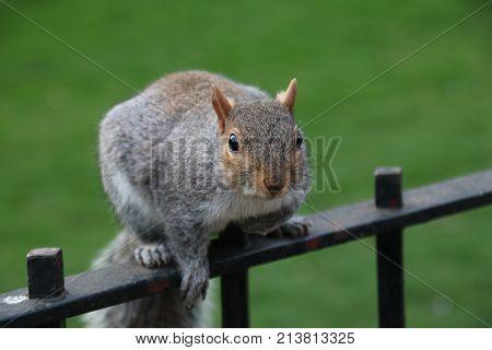Squirrel watching people in an urban park of a European capital