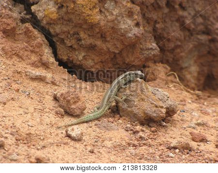 Lizard perched on a rock watching the environment