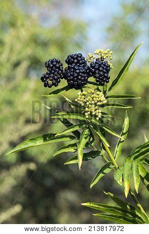 Young branch of elderberry lit by the sun (Sambucus)