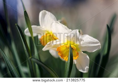 nature narcissus flower isolated close up. narcissus flower isolated