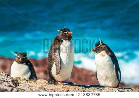Rockhopper penguins in Patagonia Argentina South America