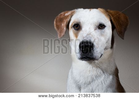 Portrait Of An Adorable Mixed Breed Dog - Studio Shot
