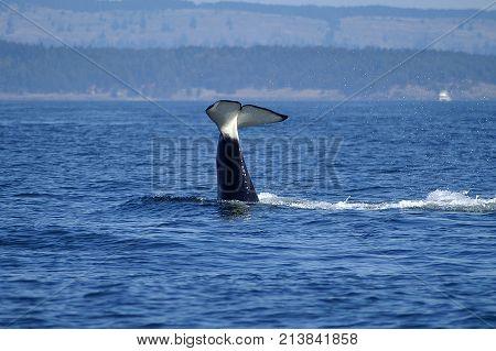 Orca Killer Whale  feeding in San Juan Islands Washington