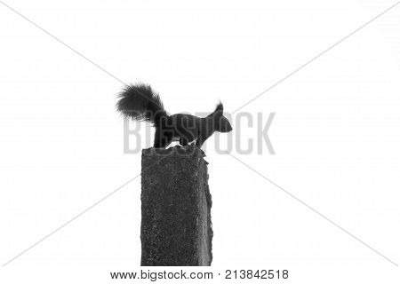 Squirrel On The Column. Black And White Squirrel. Silhouette Of Squirrel.