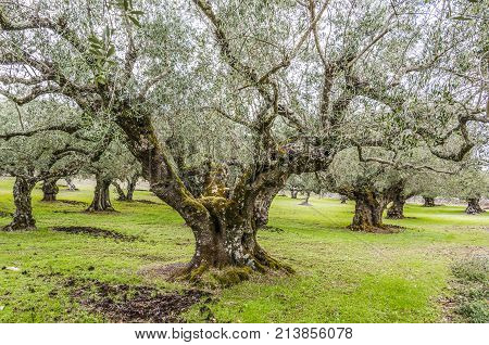 In the interior of the island of zakynthos olive plantations abound here you can see one of them