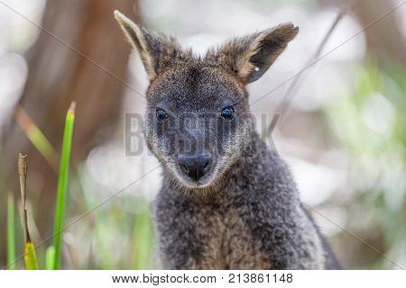 Portrait of Pademelon - native Australian marsupial