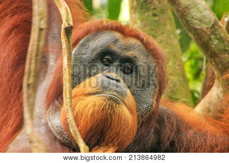 Portrait Of Male Sumatran Orangutan In Gunung Leuser National Park, Sumatra, Indonesia