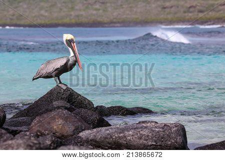 Brown Pelican Sitting On A Rock At Suarez Point, Espanola Island, Galapagos National Park, Ecuador