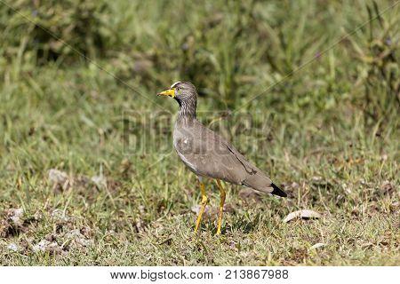 Senegal Wattled Plover (vanellus Senegallus) On A Meadow