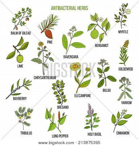 Best antibacterial herbs. Hand drawn vector set of medicinal plants