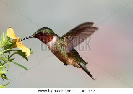 Male Ruby-throated Hummingbird (archilochus colubris) in flight with a yellow flower and a colorful background poster