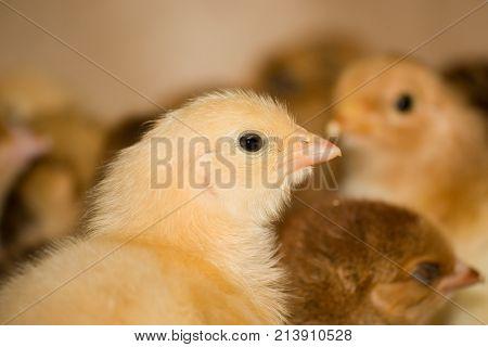 Indoors chicken farm, chicken feeding. Modern chicken farm, production of white meat.