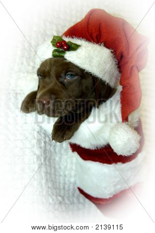 lab pup hangs in a stocking waiting for santa clause. He has on a santa hat. poster