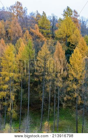 autumn colored trees in a forest in austria