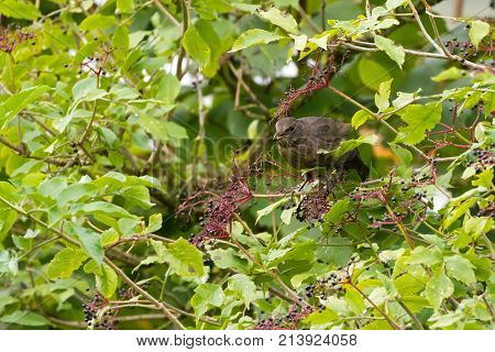 Common blackbird bird with yellow beak feeding on fresh Elderberry tree, Autumn in Austria, Europe (Turdus merula)