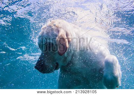 Playful labrador puppy in swimming sea has fun - dog jump and dive underwater to retrieve shell. Training and active games with family pets and popular dog breeds on summer holiday.