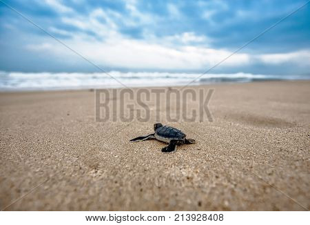 Tortoise is trying to go to sea