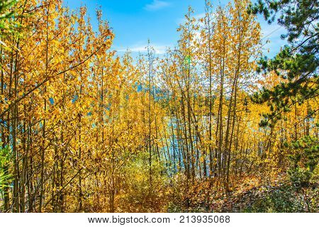 Rocky Mountains in the Indian summer. The flooded coastal aspen grove. Picturesque Abraham Lake in a flood. The concept of active and ecological tourism