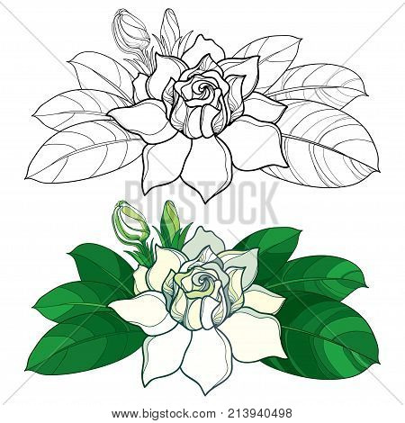 Vector outline Gardenia flower, bud and ornate leaves in black and pastel color isolated on white background. Tropical fragrant plant Gardenia in contour style for summer design and coloring book.