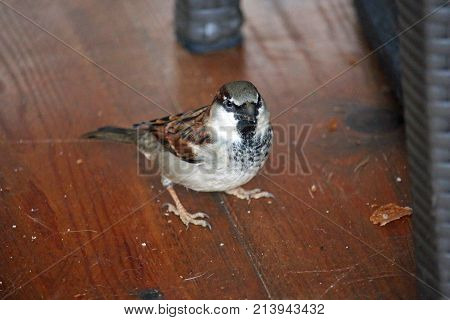 House Sparrow Eating Crumbs