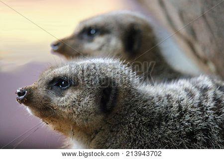 Meerkat In Close Up