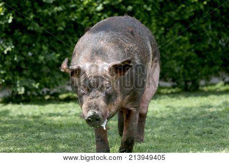 Duroc Male Pig Graze On Organic Bio Farm Household