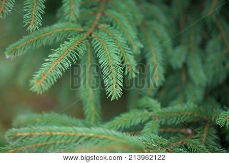 Silver blue spruce pine fir tree brunches closeup photo.