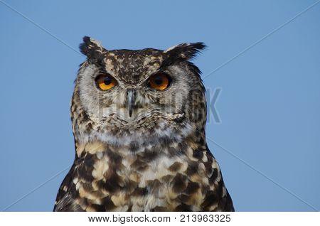 Cape Eagle Owl silhouetted against blue sky