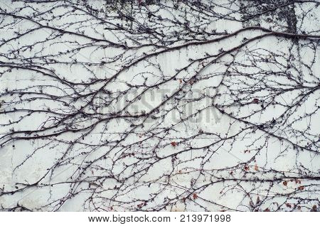 Branches of plants on a white wall. Stock Photo.