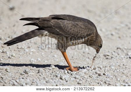 Female Pale Chanting Goshawk killing a small lizard on the ground in the Kalahari