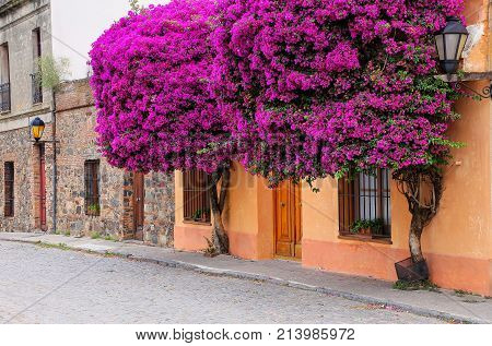 Bougainvillea trees growing by the house in historic quarter of Colonia del Sacramento Uruguay. It is one of the oldest towns in Uruguay poster