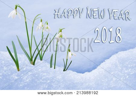 New Year 2018 greeting card, group of snowdrops, flowers in snow, 2018 greeting, 2018 new year