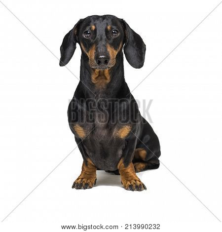 Portrait of an adorable short haired Dachshund black and tan isolated on white.