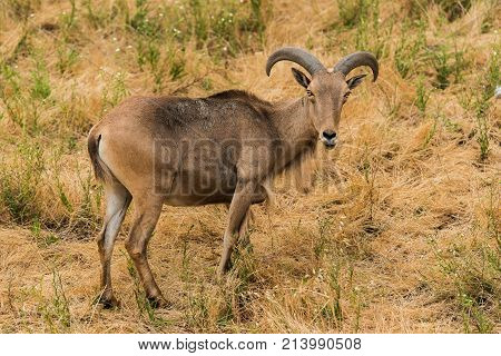Himalayan Tahr in the mountains of southern California also called a mountain goat