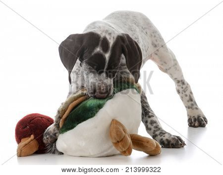 german shorthaired pointer puppy playing with stuffed bird on white background