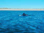 Common Dolphin on Lopez Mateos Bay in B.C.S. poster