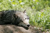 a grey wolf looking but not moving poster