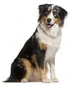 Border Collie, 9 months old, sitting in front of white background poster