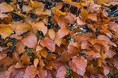 beech autumn leaves on a hedge Fagus sylvatica poster