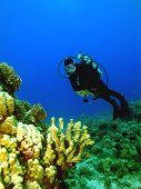 A scuba diver checks out a Coral Head on Maui Hawaii. poster
