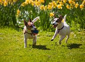 Two Jack Russell terriers playing fetch with a ball running towards camera on a lawn in spring with daffodils in the background. poster