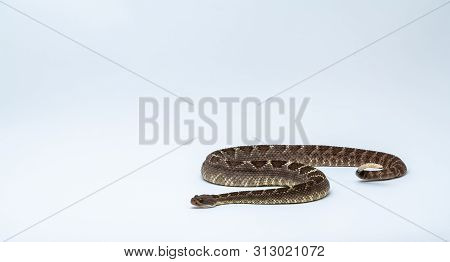 Arizona Black Rattlesnake on Isolated Background Crotalus cerberus poster